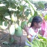 มะเขือ - Eggplant Seeds