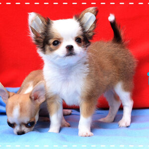 "CHIHUAHUA@LOVE BE'L ""SHOUHEI"" น้องชูไฮ"